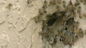 Bees emerging from a hole in the side of a structure. Hard for a beekeeper to tell the extent of the hive until they cut a portion of the wall out.
